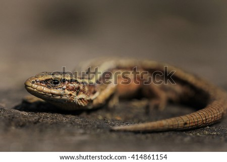Closeup of alert  lizard (Zootoca vivipara) on land - stock photo