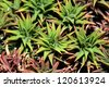 Closeup of aloe vera plant - stock photo