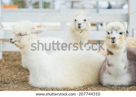 Closeup of 3 Alpacas - stock photo