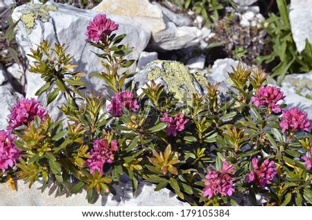 Closeup of Alpenrose flower Rhododendron ferrugineum near from La Plagne in France. - stock photo