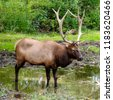 closeup of american elk stag  ...