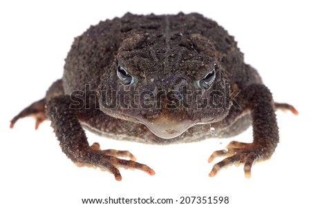 Closeup of American Toad, Anaxyrus americanus, isolated on white - stock photo