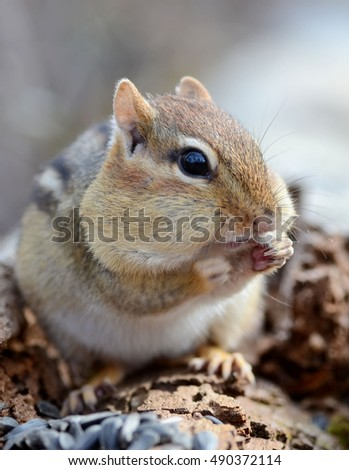 Closeup of an adorable chipmunk snacking on some seeds