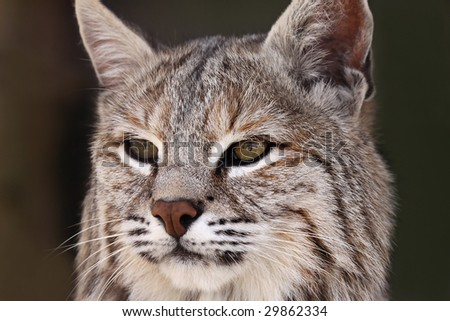 Closeup of an adult male Bobcat against a blurred background.