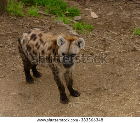 Closeup of an African Spotted Hyena - stock photo