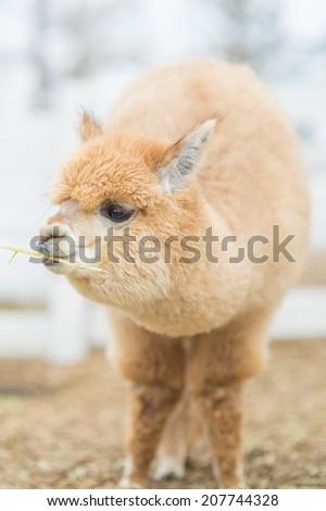 Closeup of an Alpaca - stock photo