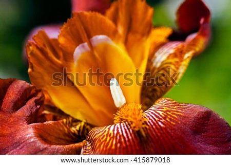 Closeup of an anther of a red iris flower in bloom; shallow depth of field - stock photo