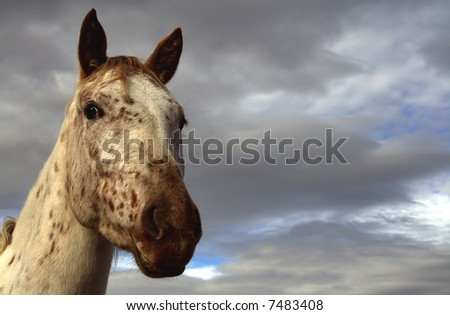 Closeup of an Appaloosa mare horse