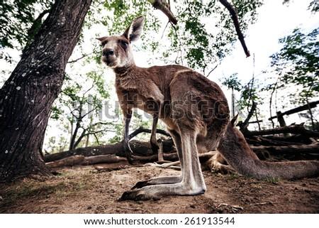 Closeup of an australian eastern grey kangaroo - stock photo