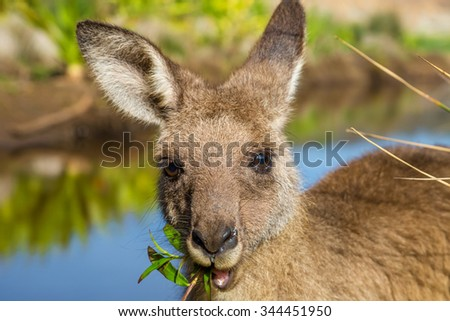 Closeup of an Australian red kangaroo, Macropus rufus, eating grass on the famous Pebbly Beach in the Murramarang National Park, south coast region, New South Wales, Australia. - stock photo