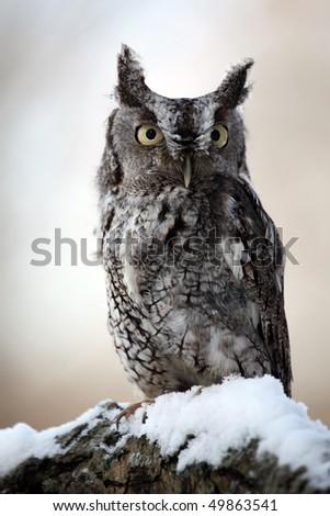 Closeup of an Eastern Screech Owl in the winter. - stock photo