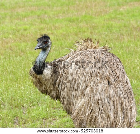 Closeup of an emu in grassland