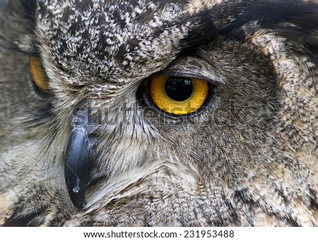 closeup of an Eurasian eagle owl