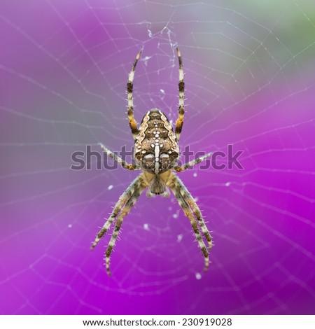 Closeup of an European Garden Spider (Araneus Diadematus) at a purple background - stock photo