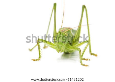 closeup of an grasshopper from front on white background