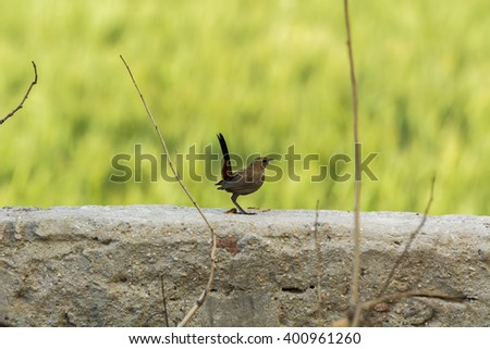 Closeup of an Indian Robin Bird perched on a wall with smooth green out of focus background - stock photo