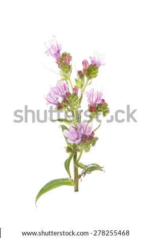 Closeup of an individual Echium flower spike isolated against white - stock photo