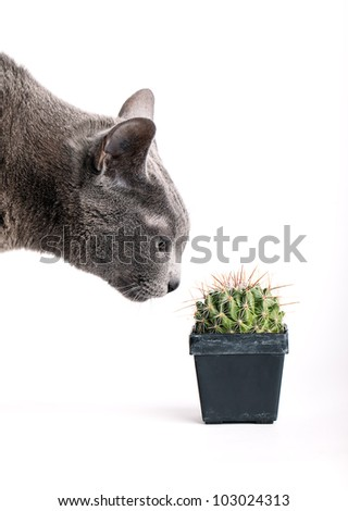 Closeup of an inquisitive grey cat inspecting a spiny cactus in a flowerpot isolated on white