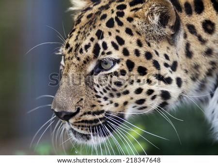 closeup of an intense leopard - stock photo