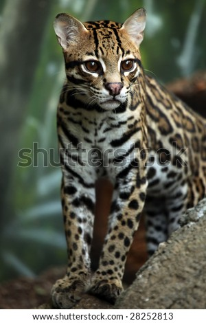 Closeup of an Ocelot stalking his prey. - stock photo