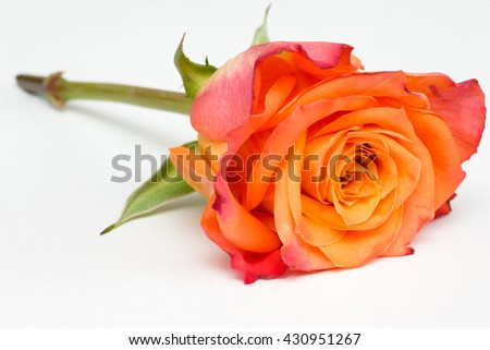 Closeup of an orange rose