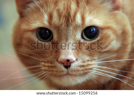 Closeup of an Orange Tabby Cat.