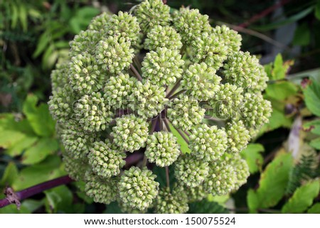 Closeup of Angelica archangelica umbel, photographed at Norwegian coast - stock photo