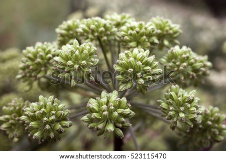 Closeup of Angelica archangelica umbel. Very narrow DOF.
