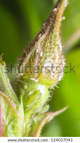 Closeup of aphids on rose bud
