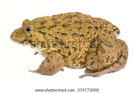 Closeup of Asian River Frog  - stock photo