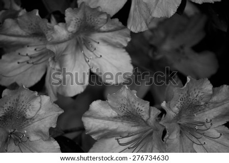 Closeup of azalea blooms on bush in black and white. Azalea or rhododendron shrub blooming in tropical climate. Pretty nature flower closeup. - stock photo