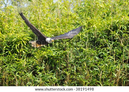 Closeup of  bald eagle (Haliaeetus leucocephalus) in flight on green vegetation background