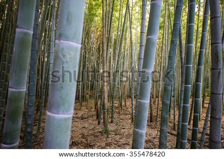 Closeup of bamboo tree in bamboo garden - stock photo