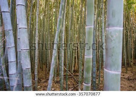 Closeup of bamboo tree in bamboo garden