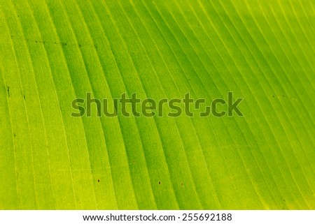 closeup of banana leaf in selective focus, background and  texture - stock photo