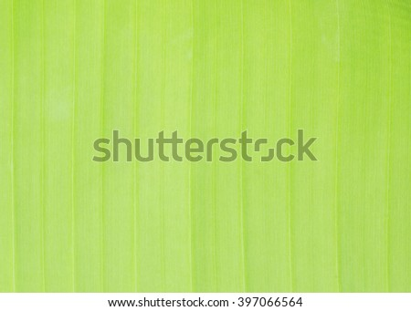 closeup of banana leaf texture green and fresh - stock photo