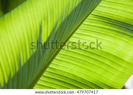 Closeup of Banana plant leaves with sun shadow textures.
