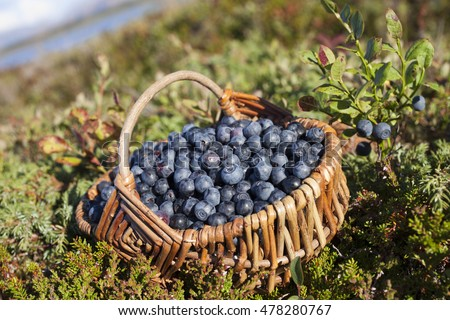 Closeup of basket with ripe bilberries on beautiful late summer day at Helgeland archipelago, Norway.