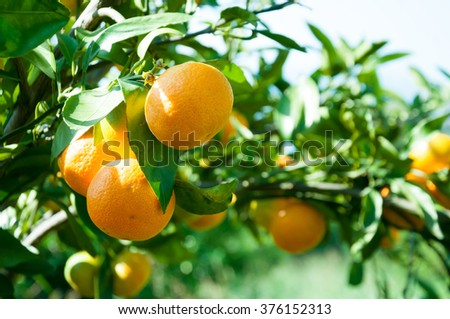 Closeup of beautiful branch of tangerines