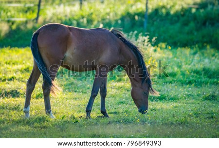 Closeup of beautiful brown horse grazing on a meadow 2017/06/24