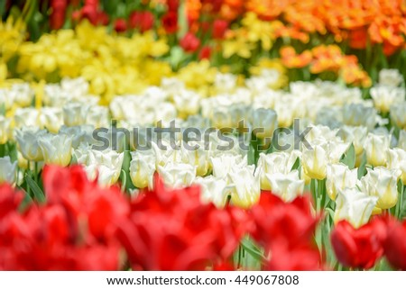 closeup of beautiful colorful tulips flower in the garden - can use for natural spring background - stock photo