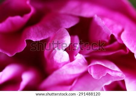 Closeup of beautiful dark pink peony flowers - stock photo