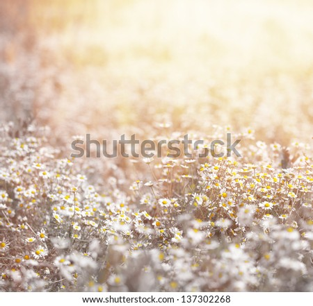 Closeup of beautiful fresh daisy meadow in warm yellow sun light, abstract floral background, soft focus, many white little wildflowers, summer season - stock photo