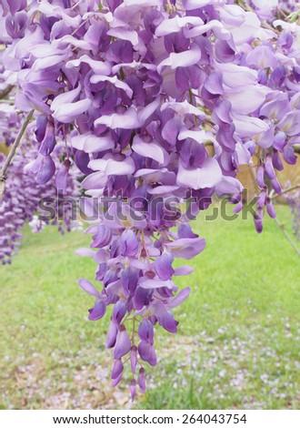 Closeup of Beautiful Lavender Wisteria Blossoms in Springtime - stock photo
