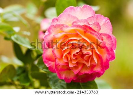 Closeup of beautiful orange rose in garden - stock photo