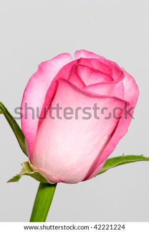 closeup of beautiful pink rose