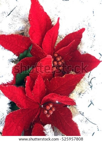 closeup of beautiful red poinsettia flower surrounded by white