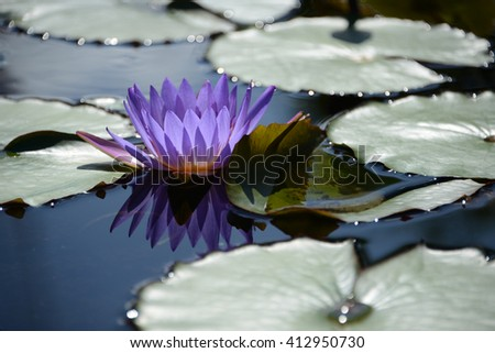 Closeup of beautiful violet water lily on green background.