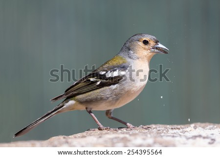 Closeup of beautiful yellow Finch eating a peanut - stock photo