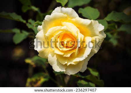 closeup of beautiful yellow rose
